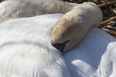 Mute Swan sleeping Stock Photography