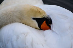 Mute Swan sleeping Royalty Free Stock Photography