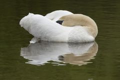 A  mute swan sleeping at the Ornamental Pond, Southampton Common Royalty Free Stock Photography