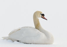 Mute Swan in the snow Stock Photo