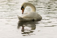 A mute swan on Southampton Common stock images