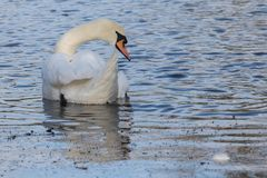 A mute swan on Southampton Common royalty free stock image