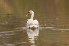 A mute swan on Southampton Common royalty free stock photos