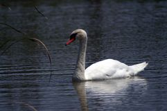 White swan with a red beak on the dark water. The mute swan is a species of swan and a member of the waterfowl family Anatidae. It is native to much of Eurasia stock photo