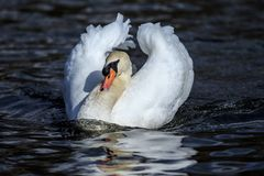 A mute swan male show boating royalty free stock image