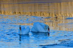Mute swan in spring in a lake. Mating saison Stock Image