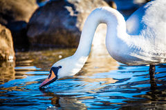 The mute swan Stock Photo