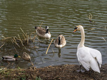 Mute Swan in Stand Off Stock Photography