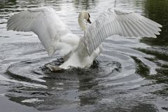 A mute swan stretching its wings stock image