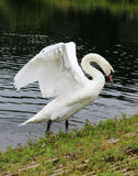 Mute swan stretching royalty free stock images