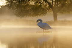 Mute Swan at sunrise Stock Photography