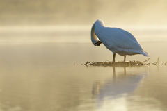 Mute Swan at sunrise Stock Image