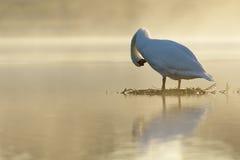 Mute Swan at sunrise Stock Image