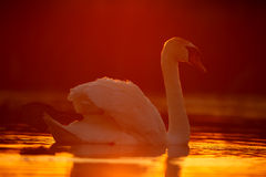 Mute swan in sunset Royalty Free Stock Photo