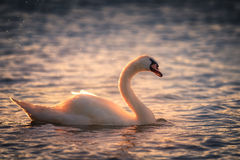 Mute Swan at Sunset Stock Images