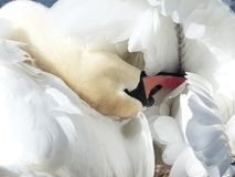 Mute Swan, Swan, Clean, Bird, Swim Stock Photos