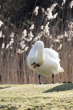 Mute Swan. S cleaning up themselve in morning sun Royalty Free Stock Images