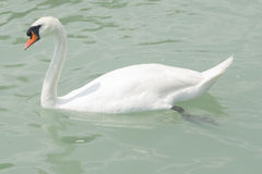 Mute swan swiming in lake Balaton with greenish water, close-up portrait, selective focus, shallow DOF.  Royalty Free Stock Images