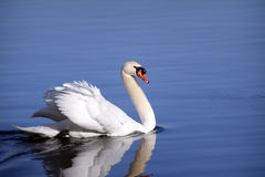 Mute Swan swimming. Beautiful white Mute Swan, Cygnus olor, swimming in blue water royalty free stock image