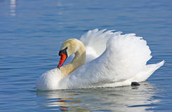 Mute swan swimming Stock Image