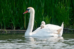 Mute Swan. Swimming along the water's edge with two chicks on its back Royalty Free Stock Image