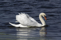 Mute Swan. Swimming on bright blue water along the Atlantic coast. It is a member of the waterfowl family Anatidae. It is native to Europe and Asia and an stock photos