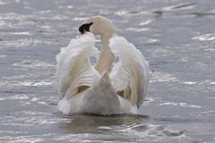 A mute swan swimming. On choppy water royalty free stock photo