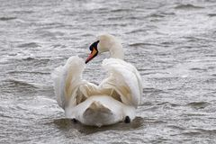 A mute swan swimming. On choppy water stock image