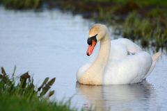 Mute swan swimming in ditch Stock Photography