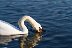 Mute Swan Swimming and Drinking Stock Photography