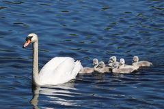 Mute Swan Swimming with Eight Cygnets Royalty Free Stock Images