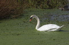 Mute Swan. Swimming in green algae along the Atlantic coast. It is a member of the waterfowl family Anatidae. It is native to Europe and Asia and an introduced stock photography