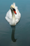 Mute Swan Swimming on Lake Royalty Free Stock Images