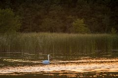 Mute swan swimming in lake alone. Near forest stock photos