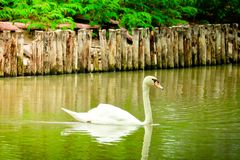 Mute Swan is swimming. In the pool royalty free stock photos
