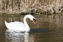 Mute swan. Swimming in a pool Stock Photo