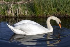 Mute swan swimming with reflection, white plumage, an orange beak bordered with black and a pronounced knob atop. royalty free stock image