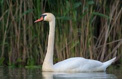 Large Mute swan swims on the river from short distance royalty free stock photos