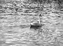 Mute Swan swimming in the water black and white Stock Images
