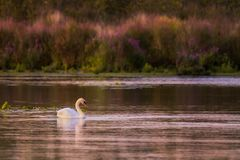 A Mute Swan swims at sunset stock photo
