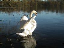 Mute swan swings its wings Stock Photo