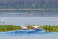 Mute Swan take off Royalty Free Stock Photo
