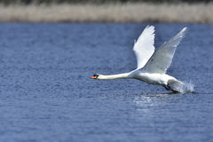 Mute swan. During takeoff Mute Swan on a lake Royalty Free Stock Photography