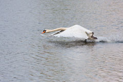 Mute swan taking off Royalty Free Stock Photography