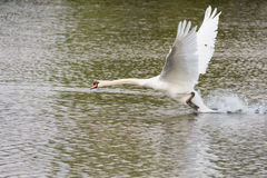 Mute swan taking off Royalty Free Stock Photos