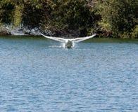 Lake Take off Royalty Free Stock Image