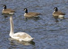 Mute swan and three cackling geese Stock Photography