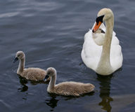 The mute swan and three of her cute chicks are swimming Stock Photo