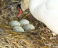 Mute Swan With Unhatched Eggs Stock Image