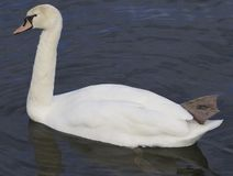 The mute swan unordinary swimming Stock Images